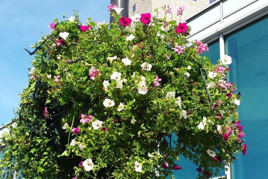 Hanging baskets fleuren winkelcentrum op